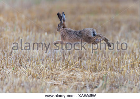 european hare, lepus europaeus - Stock Photo
