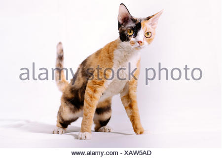 Close-Up Of Devon Rex Against White Background - Stock Photo