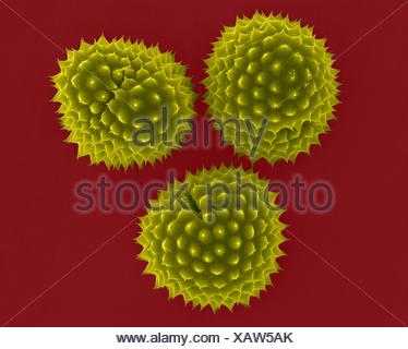 Ragweed (Ambrosia psilostachya) pollen,coloured scanning electron micrograph (SEM).This pollen is allergen.Ragweed is main cause of weed allergies.Ragweed pollen is notorious for causing allergic reactions in humans,specifically allergic rhinitis.Up to half of all cases of pollen-related allergic - Stock Photo