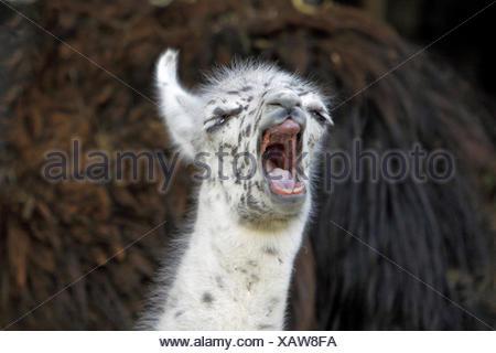 llama (Lama glama), portrait of a yawning pup - Stock Photo