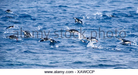 bearded penguin, chinstrap penguin (Pygoscelis antarctica, Pygoscelis antarcticus), porpoising, leaping , Antarctica - Stock Photo