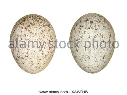 Pied Wagtail - Motacilla alba yarrellii - Stock Photo