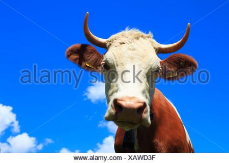 Alps, mountains, fauna, Fleckvieh, Simmental breed