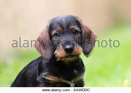 Wire-haired dachshund, puppy, 10 weeks, Germany - Stock Photo