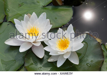 two water lilies - Stock Photo