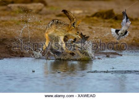 Black backed Jackal chasing Cape Turtle Doves, Etosha, Namibia - Stock Photo