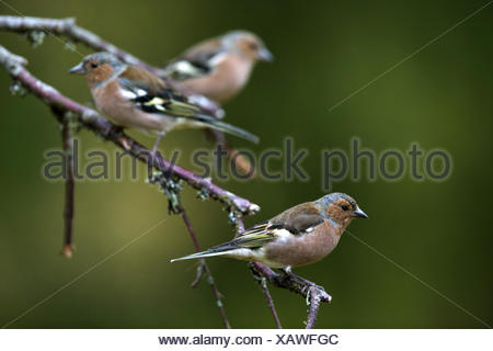 chaffinch (Fringilla coelebs), three chaffinches sitting on a twig, Sweden - Stock Photo
