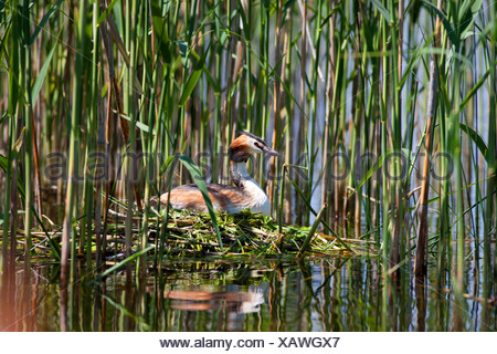 great crested grebe (Podiceps cristatus), on swimming nest, Germany, Bavaria, Staffelsee - Stock Photo