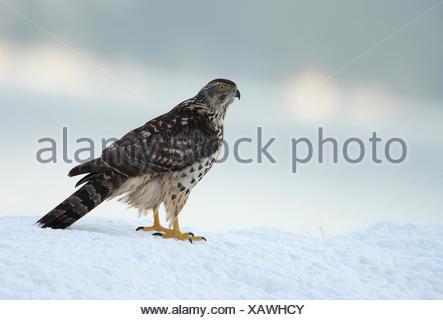 Northern Goshawk (Accipiter gentilis) in the snow, Molde, Norway - Stock Photo