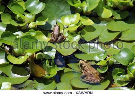 Two American Bullfrogs, Lithobates catesbeianus, sitting on lily pads in a backyard pond in Wisconsin, USA. - Stock Photo