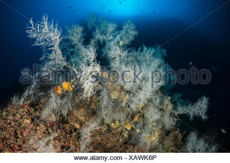 Mediterranean Black Coral, Antipathes subpinnata, Svetac Island, Adriatic Sea, Croatia - Stock Photo
