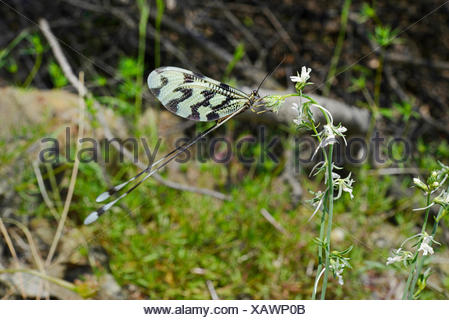 spoon-winged lacewing (Nemoptera sinuata), on an inflorescence, Turkey, Lycia, Dalyan-Delta