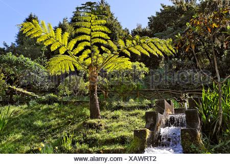 A fern tree at the trout breeding, Ribeiro Firo, Madeira, Portugal - Stock Photo