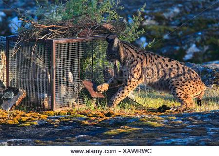 Spanish lynx (Lynx pardinus), catching rabbit at the feeding site, Spain, Andalusia, Sierra de Andujar National Park - Stock Photo