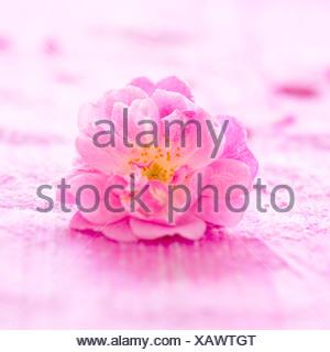 A pink rose close-up - Stock Photo