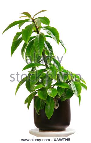 Pereskia grandifolia, Rhodocactus grandifolius, Rose Cactus - Stock Photo