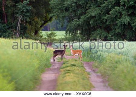 light and dark coloured fallow deer (Dama dama) - Stock Photo