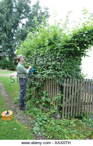Shaping a hornbeam hedge - Stock Photo