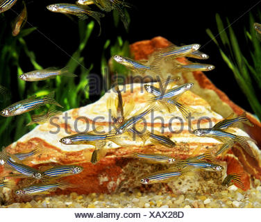 Long-Finned Zebra Fish, brachydanio rerio - Stock Photo