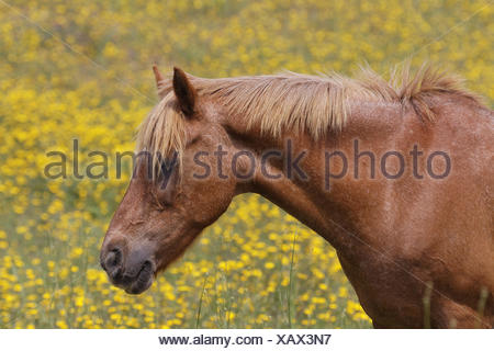 Horse on a flower meadow in Corsica, France - Stock Photo