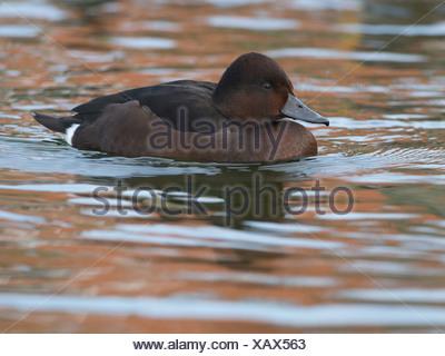 Ferruginous Duck, Aythya nyroca, Germany, Europe - Stock Photo