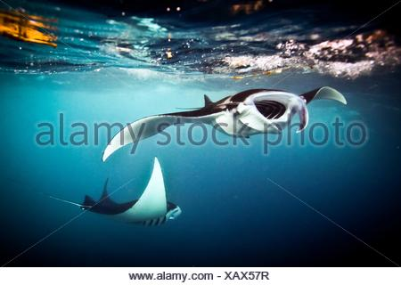 Two Manta Rays (Manta Alfredi) feed at the surface, Raja Ampat, West Papua, Indonesia - Stock Photo