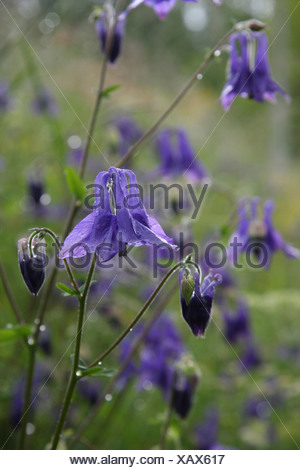 Blue columbine flowers (Aquilegia vulgaris) covered in water droplets just after a shower of rain - Stock Photo