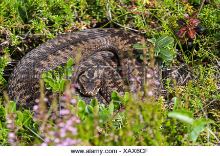 adder, common viper, common European viper, common viper (Vipera berus), sunbathing, Russia, Kola, Varzuga - Stock Photo