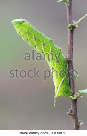 Eyed hawk-moth (Smerinthus ocellata) caterpillar, Lower Saxony, Germany - Stock Photo
