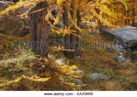 common larch, European larch (Larix decidua, Larix europaea), larch forest in autumn, Switzerland, Valais - Stock Photo