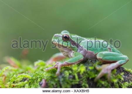 European treefrog, common treefrog, Central European treefrog (Hyla arborea), sitting on a moss cushion, side view, Germany, Bavaria - Stock Photo