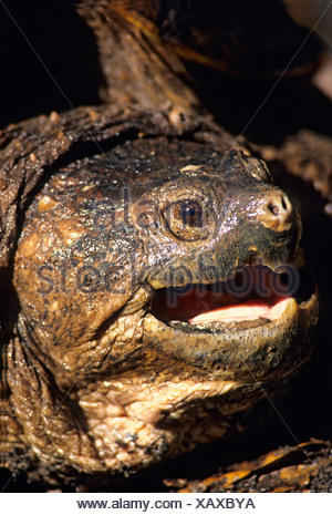 Adult snapping turtle (Chelydra serpentina osceola), central Florida, USA - Stock Photo