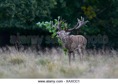 Red deer (Cervus elaphus), roaring, capital stag with foliage in the antler, Imponierge, Platzhirsch, Zealand, Denmark - Stock Photo