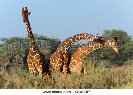 Three Somali giraffes or reticulated giraffes (Giraffa reticulata camelopardalis), Samburu National Reserve, Kenya - Stock Photo