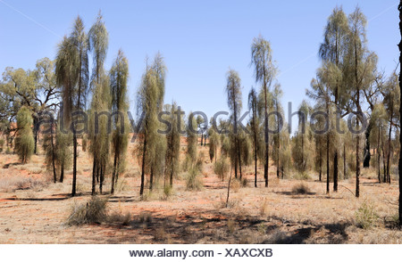 Desert Oaks (Allocasuarina decaisneana) growing alongside Luritja Road, Northern Territory, Australia - Stock Photo