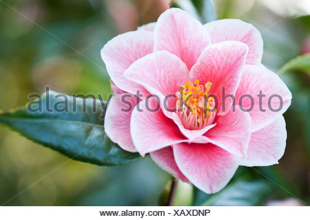 Single pink flower of Camelia japonica 'Yours Truly' with delicate veining extending over petals and yellow stamen in centre. - Stock Photo
