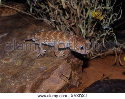 Knob-Tailed Gecko (Nephrurus levis), sitting on a stone - Stock Photo