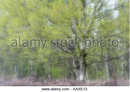 birch tree in moor, lower saxony, germany - Stock Photo