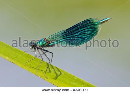Dragonfly (Calopteryx splendens), on leaf, close-up - Stock Photo