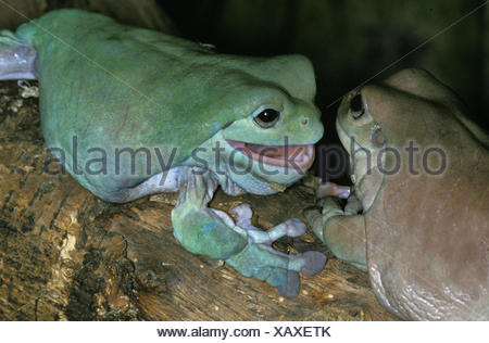 WHITE'S TREE FROG litoria caerulea, AUSTRALIA - Stock Photo