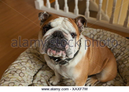Purebred English Bulldog; Pacifica, California, United States of America - Stock Photo