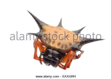 spiny spider - Stock Photo