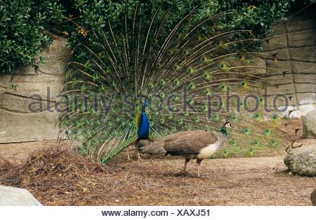 Indian Peafowl - male and female / Pavo cristatus - Stock Photo