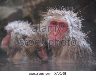 Japanese macaque (Macaca fuscata) holding young while bathing in hot spring to keep warm, only females and young bathe, winter, Jigokudani, Joshinetsu Kogen NP, Nagano, Japan - Stock Photo