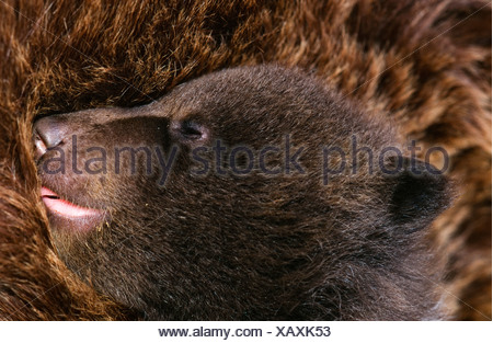 4-week-old Kodiak Bear Cub (captive). Olympic Game Farm, Sequim, WA. - Stock Photo