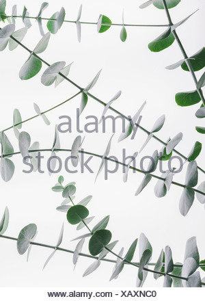 Close up of the small green leaves of the Eucalyptus gunnii tree also know as Cider Gum Leaves arranged in pairs on the twig - Stock Photo