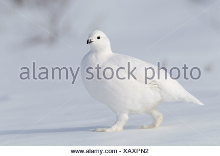 Willow Ptarmigan in white winter plumage walking on hard packed snow, Chugach Mountains, Southcentral Alaska, Winter - Stock Photo