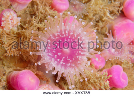 Jewel anemones Corynactis viridis some closed some open with tentacles out Sark Channel Is UK - Stock Photo