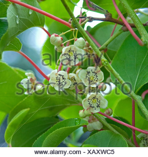 kiwi (Actinidia arguta 'Milano'), male flowers, Germany - Stock Photo
