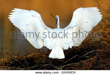 Egret Casmerodius albus heron ciconiiformes birds water birds fly egrets beaver lodge Altmuehl lake Franconia animal animals, - Stock Photo